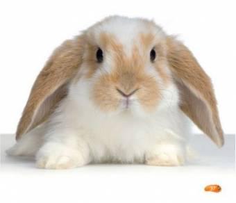 conejo con orejotas