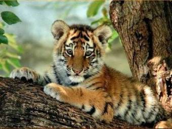 Guepardo o tigre bebe votaci n - Bebe du jaguar ...